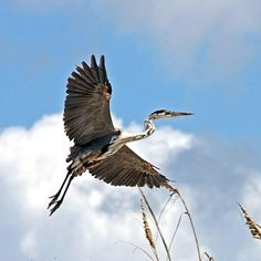 Blue Heron lift-off.