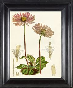 Botanical Print Aster B9 Beautiful 8X10 Pink by PictureHome, $10.00