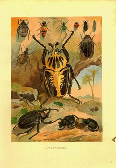 1883 Antique Color Litograph Beetle Print by CarambasVintage