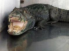 Apresan hombre por alimentar caimán con perros en Puerto Rico
