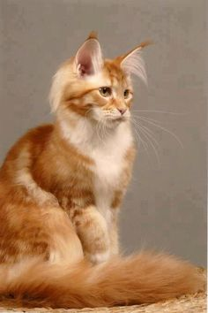 A Maine Coon Cat just beautiful http://www.mainecoonguide.com/what-is-the-average-maine-coon-lifespan/