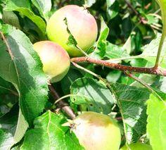 #appletree #home #garden #fresh #green // #apfelbaum #daheim #zuhause #garten #firsch #grün