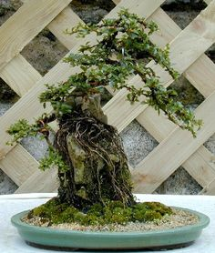 Photo du bonsai : Cotonéaster (Cotoneaster horizontalis)