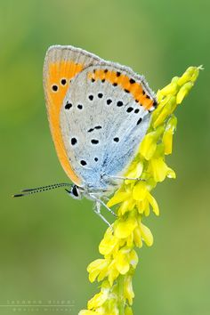 Lycaena dispar by Mantide.deviantart.com on @deviantART