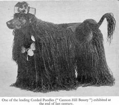 """One of the leading Corded Poodles (""""Cannon Hill Beauty"""") exhibited at the end of the 19-the century."""