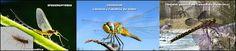 Naturarchives. Biodiversity. Instituto Bidebieta. Efemerópteros y odonatos (efímeras y libélulas).