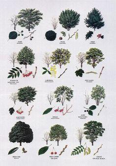 Image detail for -Broadleaved Trees Broadleaved Trees Broadleaved Trees Botanical Drawings, Botanical Illustration, Botanical Prints, Trees And Shrubs, Trees To Plant, Deciduous Trees, Leaf Identification, Baumgarten, Illustration Botanique