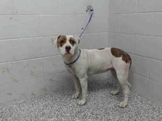 Meet A480697, a Petfinder adoptable Pit Bull Terrier Dog | San Bernardino, CA | Petfinder.com is the world's largest database of adoptable pets and pet care information....