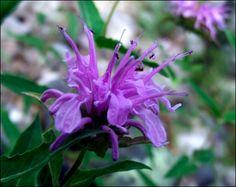 Medicine Making – The Medicine Womans Roots Healing Herbs, Medicinal Plants, Natural Healing, Growing Herbs, Edible Flowers, Flower Pictures, Flower Making, Herb Garden, Herbal Remedies