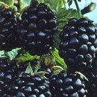 Healthy Fruits, Himalayan, Evergreen, Blackberry, Berries, Happy Birthday, Garden, Food, Satin