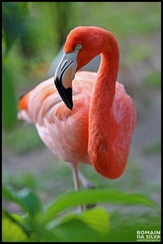 source : (by romain da silva) _ collection image photo couleur faune oiseau, flamand rose (flamingo bird) Pretty Birds, Beautiful Birds, Animals Beautiful, Cute Animals, Love Birds, Birds 2, Flamingo Photo, Flamingo Art, Pink Flamingos