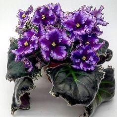 Midnight Frolic (S. Sorano) Single-semidouble plum and purple large frilled star/wide white edge, lavender and light plum tints. Variegated medium green and white, plain. Standard #midnightfrolic #AVSA #AfricanVioletSocietyOfAmerica #AfricanViolet #IndoorPlant #Houseplant #saintpaulia #senpolia #AfricanVioletLovers #flowers #bloom #blooms #fialki #fialka #flowerpower #AfricanVioletLovers  Outdoor Plants, Air Plants, Easy House Plants, Saintpaulia, African Violet, Carnivorous Plants, Natural Garden, Companion Planting, Greenhouses