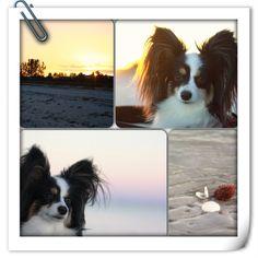 Day at the beach for Papillon Rhett