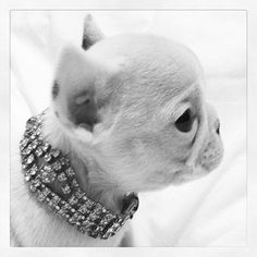 Coco the teacup French Bulldog wearing a vintage bracelet