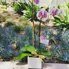 A beautiful spotted Phalaenopsis Orchid delivered to Beverly Hills!