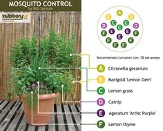 Mosquito control: nature's way. Mosquito repellent plants Going to do these next year. a few in the front, and several in the back. Natural Mosquito Repellant, Mosquito Repelling Plants, Anti Mosquito Plants, Salisbury, Container Gardening, Gardening Tips, Container Plants, Organic Gardening, Container Size