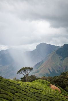 Tea plantation - Munnar, Kerala, India (by india_trippers)