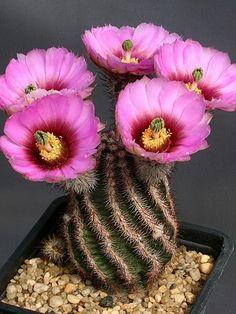 Виды домашних комнатных кактусов с фото и названиями: уход и пересадка, как заставить цвести