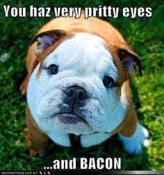 funny dog pictures - You haz very pritty eyes  ...and BACON