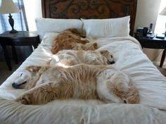 Cani felicissimi mentre s'impossessano del tuo letto