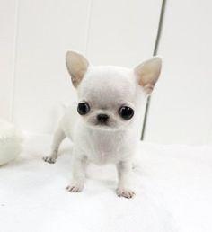 chihuahua baby :)