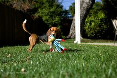 This is part one of a five part series of where Beagle Freedom Project's Rescue aka The Christmas are today. Animal Testing, Beagle, Freedom, Babies, Projects, Photography, Animals, Liberty, Log Projects