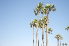 California palm trees [For the Love of Wonder]