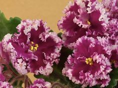 Lacy Lass Standard African Violet in Bloom | eBay  ~  LLG, 2011, #10406. Single-semidouble violet-red star with a white edge that is heavily ruffled and fringed. Leaves medium green, wavy. Standard