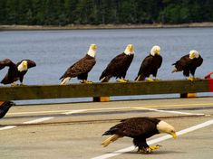 Photo listed in Journalism at Prince Rupert, Canada. Shot taken with 4 shares and 10 likes. Bald Eagles, River, Animals, Art, Art Background, Animales, Animaux, Kunst, Animal