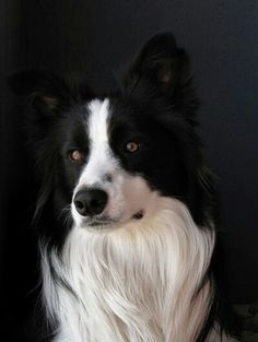 Exquisite border collie...♡♥♡♥