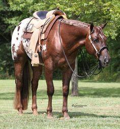 Sleepy Impulse, Appaloosa Stallion at Stud in Mooresville, Indiana