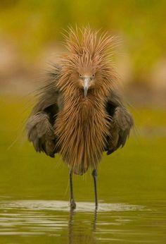 Garça avermelhada (Egretta rufescens) é de tamanho médio, residente na América Central, Caribe, Costa do Golfo dos USA e México. Este pássaro foi vítima do comércio das penas. Alcança 68-82 cm de comprimento, com envergadura de 116-125 cm. É considerada uma das garças mais ativas, sempre em movimento. Espreita sua presa visualmente em águas rasas, usando a sombra de suas asas para reduzir o brilho sobre a água. O resultado é uma dança fascinante. Fotografia: Danielle Vanessa Hilliard no…