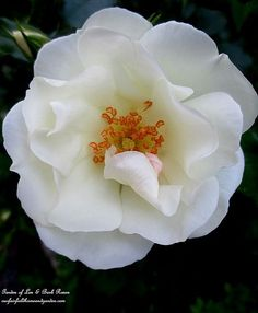 Shrub Rose's delicate bloom ~ June 1st Garden Walk (Garden of Len & Barb Rosen)
