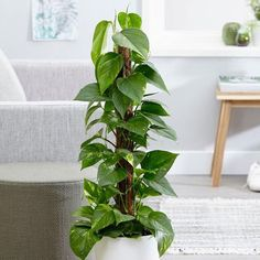Buy devils ivy (syn Scindapsus ) Epipremnum aureum - An exotic-looking houseplant with variegated yellow and green foliage: Delivery by Waitrose Garden Ivy Plant Indoor, Buy Indoor Plants, Ivy Plants, Outdoor Plants, Potted Plants, Garden Plants, Ficus Elastica, Trees To Plant, Gardens