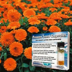 Orange Calendula Seeds (Calendula officinalis) + FREE Bonus 6 Variety Seed Pack - a $35 Value!