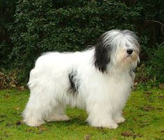 The Polish Lowland Sheepdog is a native from Poland, and is commonly referred to as a PON - short for its Polish name. This shaggy little sheepdog is simply delightful Animals Beautiful, Cute Animals, Polish Lowland Sheepdog, Dog Forum, Tallest Dog, Group Of Dogs, Bearded Collie, Black And White Dog, Herding Dogs