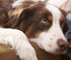 It's critical to understand what your dog's life signs mean. Dr. Marty Becker explains how to evaluate a normal dog's temperature, respiration and heart rate.