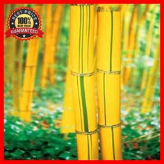 200+ Fesh Fargesia Fungosa Hardy Clumping Bamboo Seeds - Yellow Bamboo Plants #YellowBambooPlants
