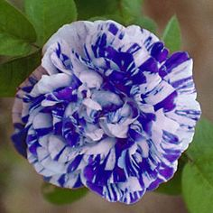 Striped roses | ROSAS VETEADAS (Striped Roses)