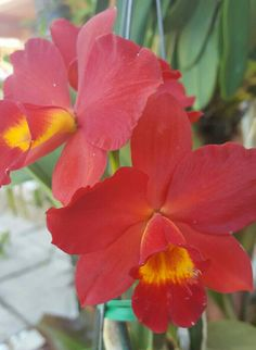 Catleyas orchids