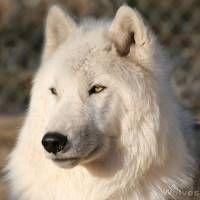 Wolf Hybrid!