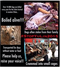 Stop the 2015 Yulin dog eating festival! - Each year, thousands of visitors attend the Yulin eating festival in Eastern China. 'Delicacies' which are serve include dog meat - the region boasts it has one. Cane Corso, Sphynx, Peta, Chinchilla, Rottweiler, Pitbull, Stop Animal Cruelty, Save Animals, Dog Eating