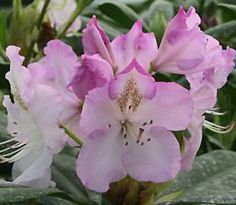 Rhododendron 'Mrs Charles E. Pearson'