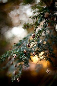 Pine cones.
