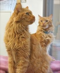 Romeo is an adoptable Domestic Long Hair - Orange Cat in Houston, TX. Romeo and his brother Cassanova are so full of love but, they have been left with no one to love them back. Their owners decided t...
