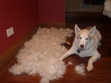 Two Bostons' Pet Blog - Shed Happens - Fight shed with the furminator.  #twobostons #furminator