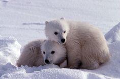 Cute-polar-bear-cubs-original.jpg (3000×1982)