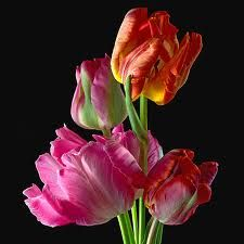 More parrot tulips