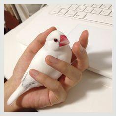 Twitter / yururi777: そしてくつろぐ文鳥。カメラ目線いただきました。 ht ...