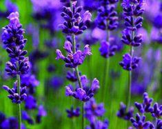 $2.50 English Lavender Heirloom Seeds